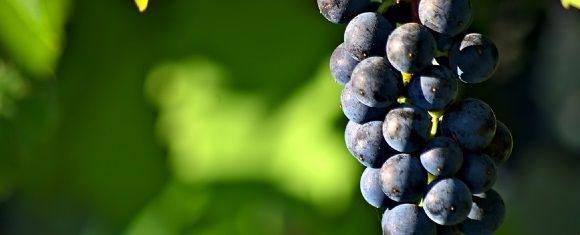 red wine benefits gut health